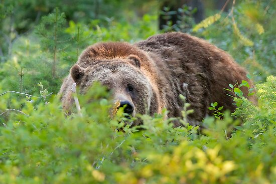 Grizzly Bear in Forest Brush by cavaroc