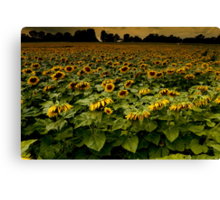Sunflower Nation Canvas Print