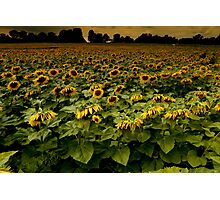 Sunflower Nation Photographic Print