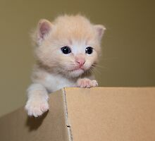Kitten in a cardboard box by MarthaBurns