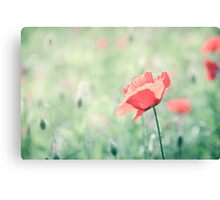 Poppy in turquoise field  Canvas Print