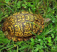 Eastern Box Turtle in Alabama by Vivian Eagleson