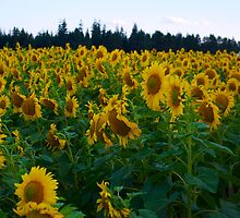 Sunflowers Side by gloriart