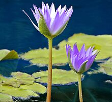Purple Water Lilies by svchristian
