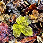 AUTUMN LEAVES - MT WILSON NSW AUSTRALIA by Bev Woodman