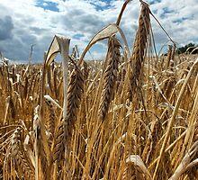 Cornfields. by AmyAmata