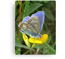 Common Blue on Yellow Canvas Print