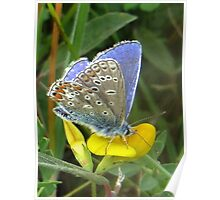 Common Blue on Yellow Poster