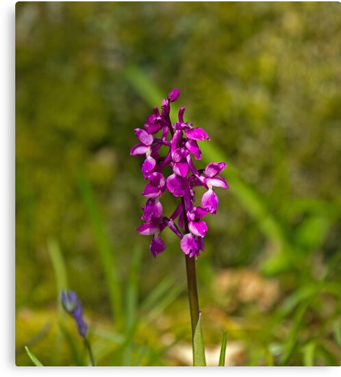 Early Purple Orchid by Sue Robinson