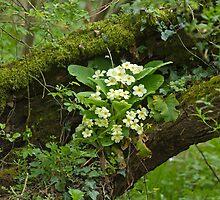 Primroses in Woodland by Sue Robinson