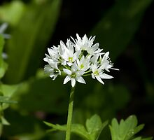 Wild Garlic Flower by Sue Robinson