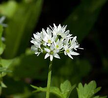 Wild Garlic Flower by Sue Robinson
