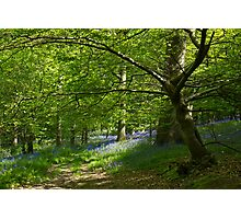 Woodland Bluebells Photographic Print