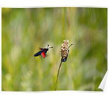 Six-spot Burnet Moths Poster