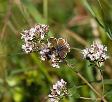 Brown Argus Butterfly by Sue Robinson