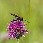 Six-spot Burnet Moth by Sue Robinson