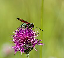 Six-spot Burnet Moth by Sue Robinson