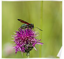 Six-spot Burnet Moth Poster