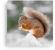 A Red Squirrel gathering food  Canvas Print
