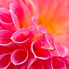 Close up of a Dahlia by Stephen Knowles