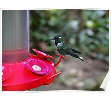 Hummingbird Vigilance In Mindo Ecuador Poster