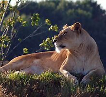 Lioness by ANDREW BARKE