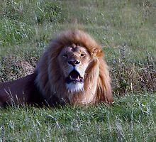 Lion Roaring by ANDREW BARKE