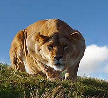 Lioness hunting  by ANDREW BARKE
