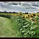 Sunflower Trail by Rebecca Reist