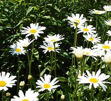 White daisies in the sunshine by ecox67