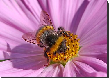 Bumble Bee at Work by AnnDixon