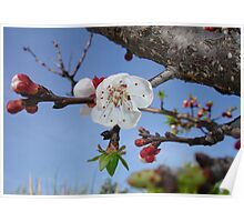 Bark, Apricot Blossom and Blue Sky Poster