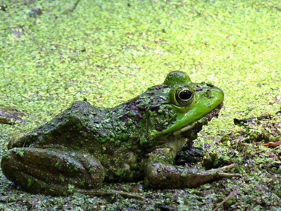 Frog by Alberto  DeJesus