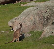 'Standing Tall!' Male Kangaroo, 'Arilka' Mount Pleasant. S.Aust. by Rita Blom