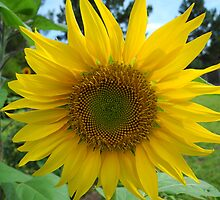 Growing sunshine by Sarah St. Pierre