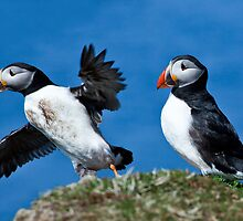 Puffin in Flight - Scotland Treshnish Isles by Christy Woodrow