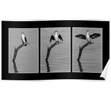 Pied Shag Triptych Poster