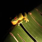 Red Eyed Tree Frog by Stethaki