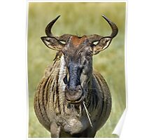 Wondering Wildebeest Poster