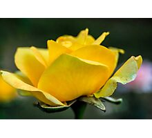 Yellow Bloom Photographic Print