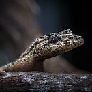 Saltuarius moritzi, the Northern Leaf-Tailed Gecko! by Normf