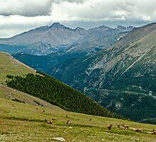 Longs Peak Elk Herd by Gregory J Summers