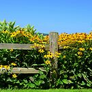 Black Eyed Susans by Debbie  Maglothin