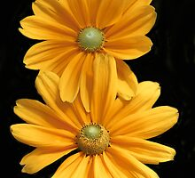 Double Daisy Delight  by heatherfriedman