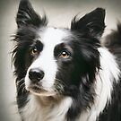 Working Border Collie by Andrew Bret Wallis