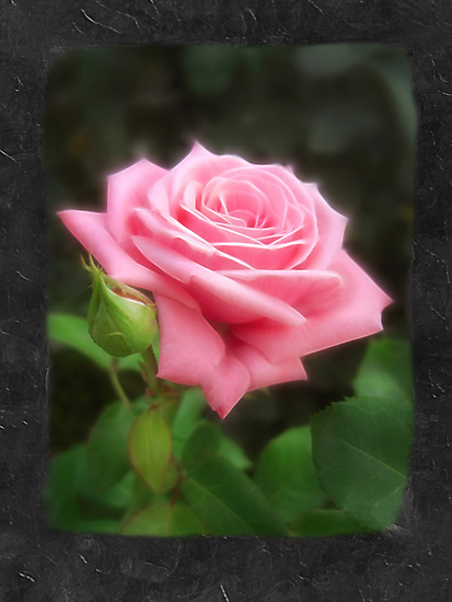 Pink Roses in Anzures 3 Blank P4F0 by Christopher Johnson