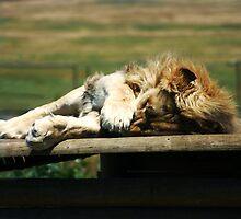 Not Again! Sleeping Lion by Audrey Krüger