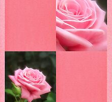 Pink Roses in Anzures 3 Blank Q11F0 by Christopher Johnson