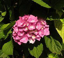 Sunlit Pink Hydrangea Blossom by BlueMoonRose