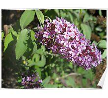 Buddleia Blossom Poster